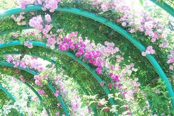 アーチのバラ.jpg