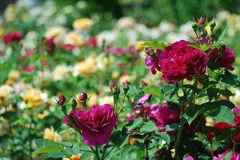 エンジ色のバラ.jpg