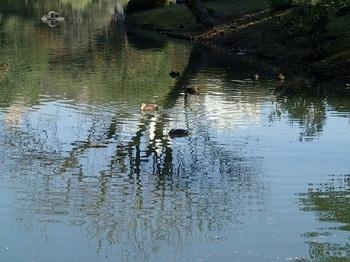 カモの泳ぐ池.jpg