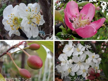 カリン プルーン ヒメリンゴの花.jpg