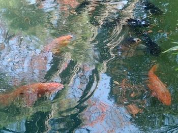 コイの泳ぐ池.jpg