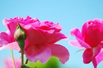 ピンクバラ2.jpg