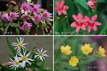庭の花(サボテン ノコンギク他).jpg