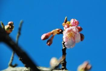 河津桜咲く.jpg