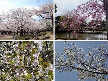 総合公園の桜.jpg
