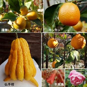 キンカン・デコポン・仏手柑.jpg