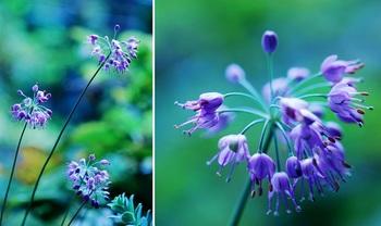 ヤマラッキョウの花.jpg