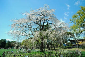 三春の枝垂れ桜.jpg