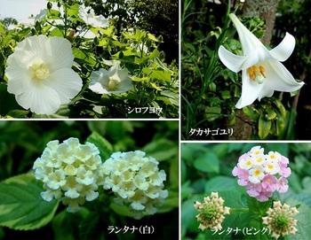 今咲いてい花(シロフヨウ・タカサゴユリ・ランタナ).jpg