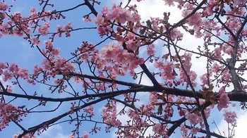 公民館桜1.jpg