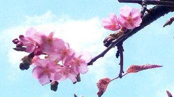 公民館桜2.jpg