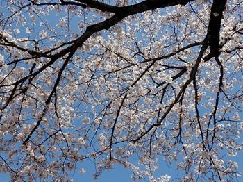 山北の桜2.jpg