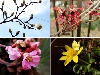 庭の花モクレン他.jpg