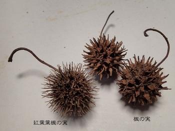 楓の実.jpg