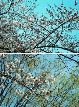 近くの公園の桜.jpg