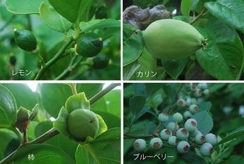 青い実(レモン・カリン・柿・ブルーベリー).jpg